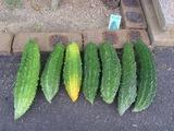 今日は7本収穫。