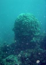 人面サンゴ