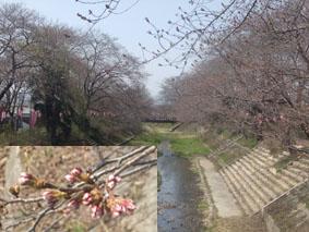 井出桜325