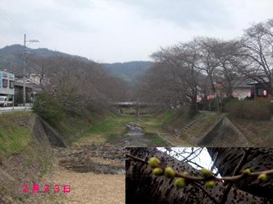 井出桜323