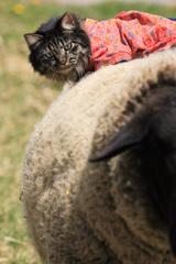 May on Sheep