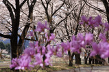 真原の桜並木_2