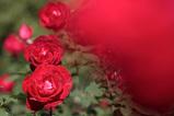 Rose Garden_1