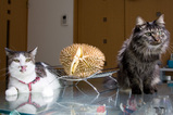 Durian Cats 2006_2