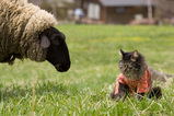 May with Sheep
