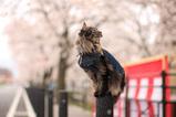 Sakura2007_1