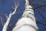 White Birch_1