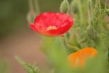 Poppy_1