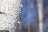 White Birch_2