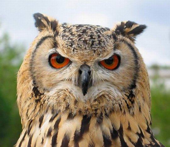 15_owl_105495