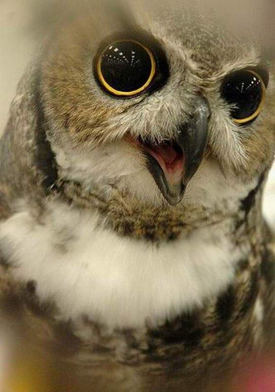 33_owl_57899