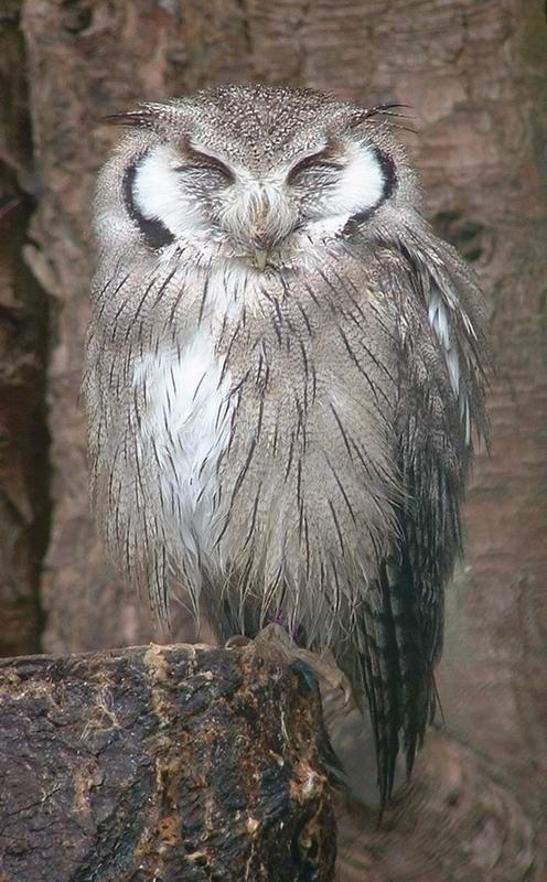 05_owl_85053