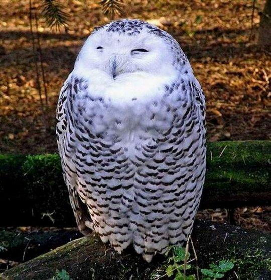 38_owl_129919