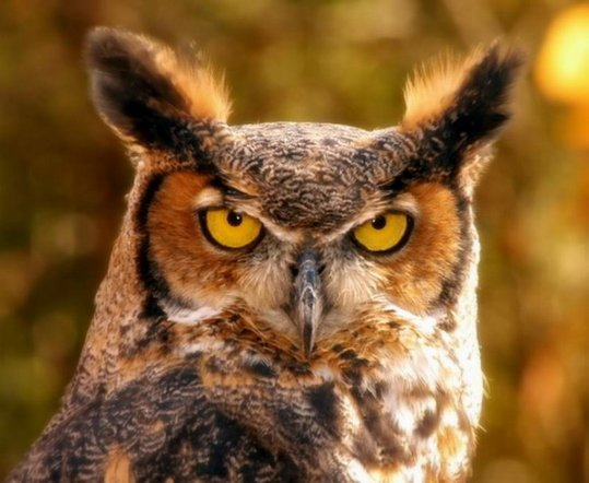 16_owl_72704