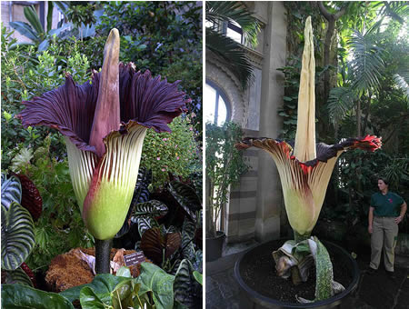 a96804_a503_corpse-flower