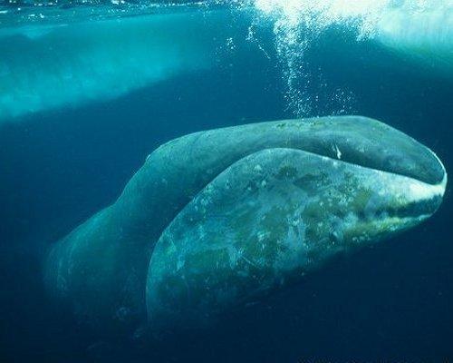 bowheadwhale