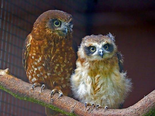 06_owl_83515