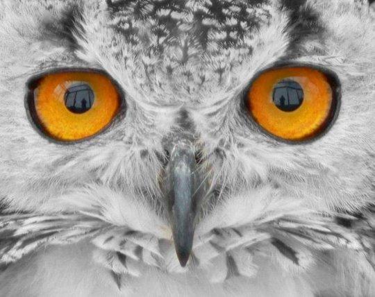11_owl_79604