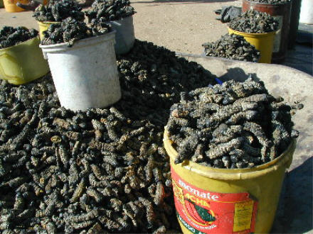 mopani_worms