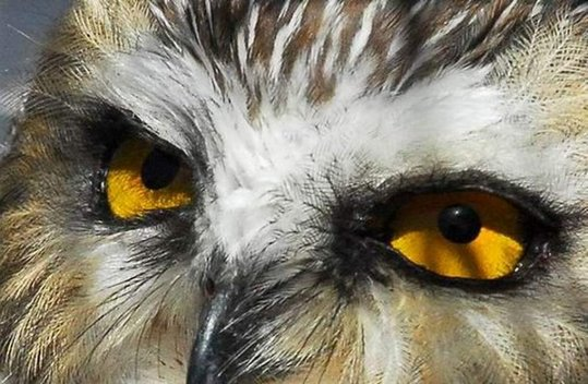 34_owl_89655