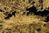 夜桜西門並木道4