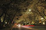 夜桜西門並木道3