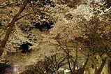 夜桜西門並木道2