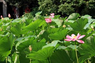 中国・上海・人民公園の蓮の花
