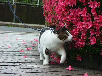 お散歩ネコ