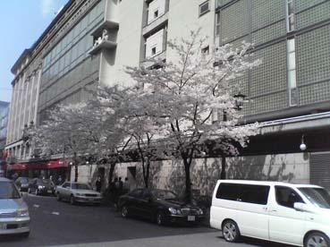 �燗�屋の桜
