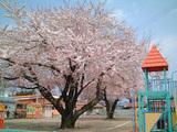 三角お屋根と桜