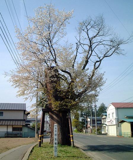 こんな感じに杉の木に生えています