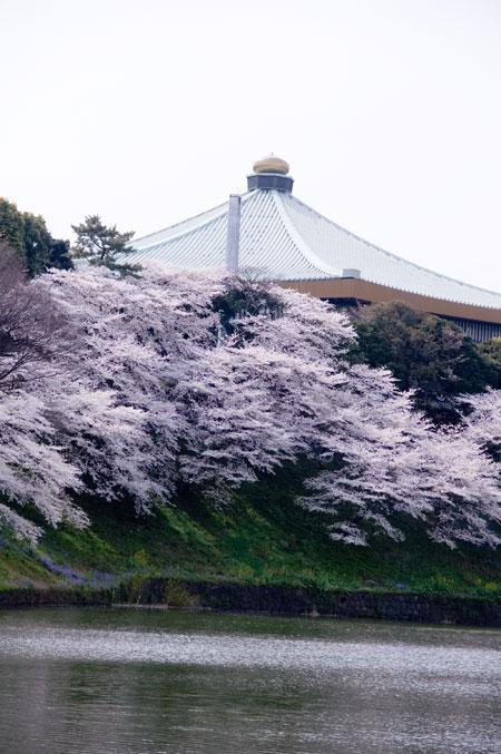 千鳥ガ淵の桜