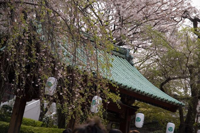 増上寺の桜 (大門)今年NO.1