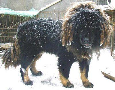 ライオンみたいなチベットの犬01