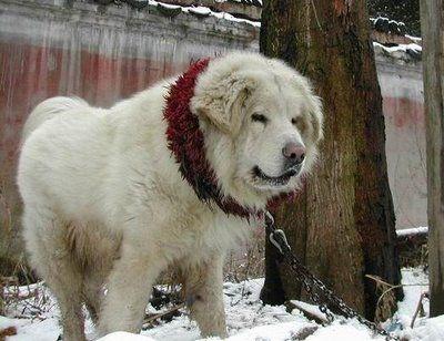 ライオンみたいなチベットの犬08