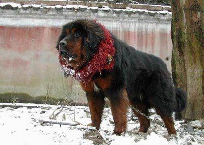 ライオンみたいなチベットの犬06