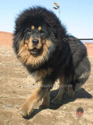 ライオンみたいなチベットの犬03