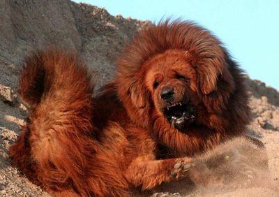 ライオンみたいなチベットの犬11