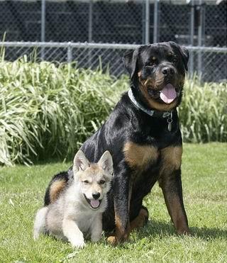 犬に育てられたオオカミ02