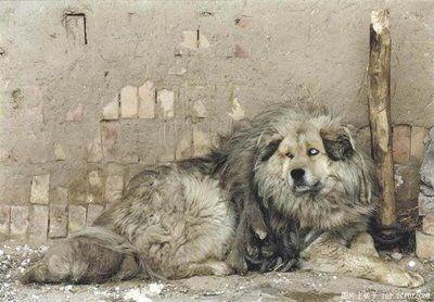 ライオンみたいなチベットの犬07