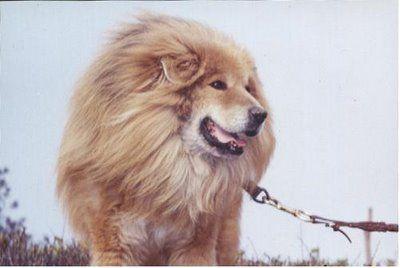 ライオンみたいなチベットの犬10