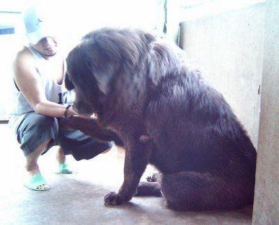 ライオンみたいなチベットの犬05
