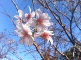 051108桜