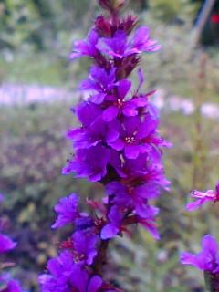 http://image.blog.livedoor.jp/lotus_teratai/imgs/b/c/bcb1442f.JPG