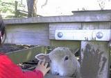 羊も触れる