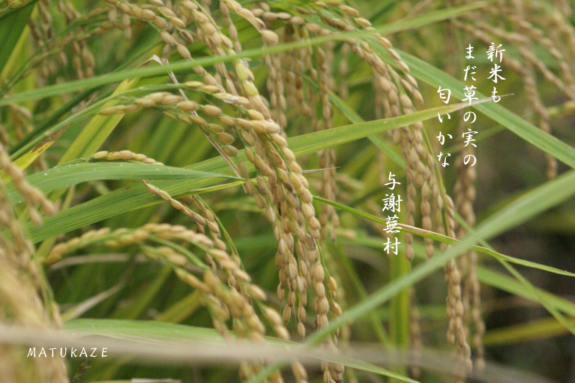 稲穂 稲 以下 HANA300.comより抜粋 ・稲(いね)科。 ・学名 O...  写真俳句~