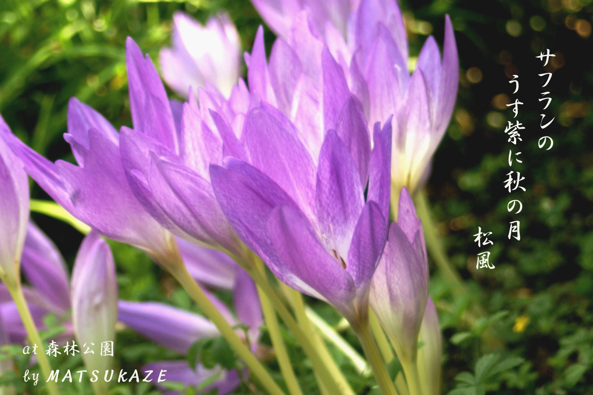 サフランの画像 p1_38