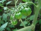 Green tometo