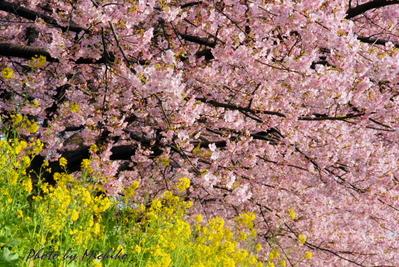 圧倒的な桜
